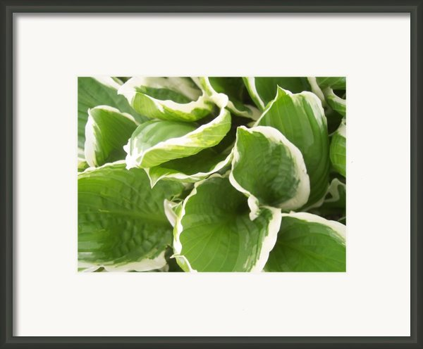 Hostas 2 Framed Print By Anna Villarreal Garbis