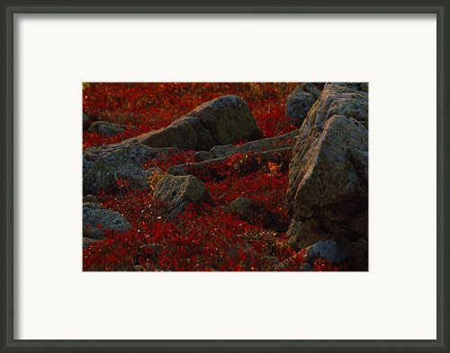 Huckleberry Bushes And Multi-hued Framed Print By Michael Melford