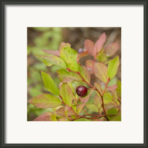 Huckleberry Framed Print By Idaho Scenic Images Linda Lantzy
