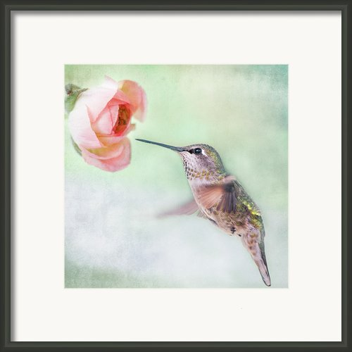 Hummingbird And Ranunculus Framed Print By Susan Gary