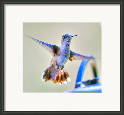 Hummingbird At The Feeder Framed Print By Shirley Tinkham