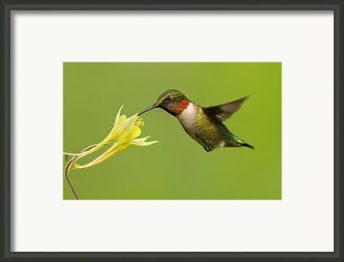 Hummingbird Framed Print By Mircea Costina Photography