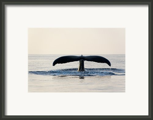 Humpback Whale Fluke Framed Print By M Sweet