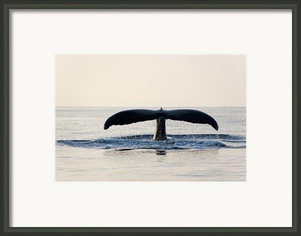 Humpback Whale Fluke Framed Print By M Sweet