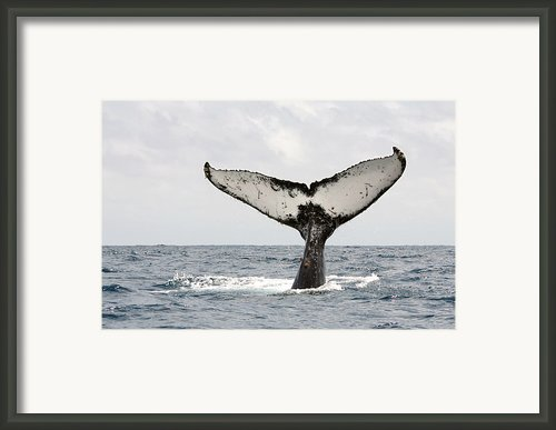 Humpback Whale Tail Framed Print By Photography By Jessie Reeder