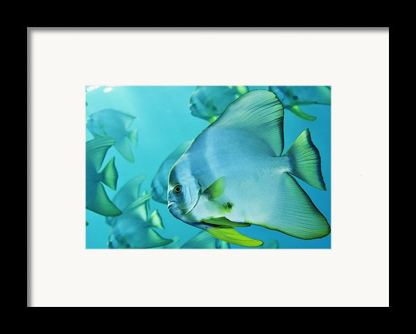 Hunting For Plankton, A School Framed Print By Brian J. Skerry