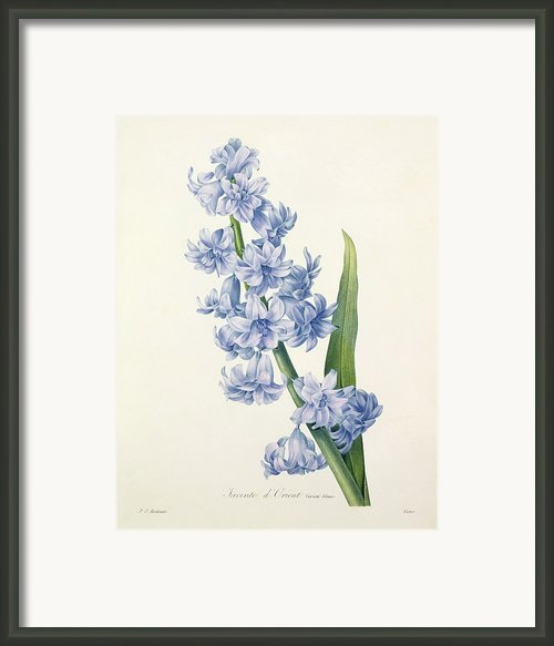 Hyacinth Framed Print By Pierre Joseph Redoute