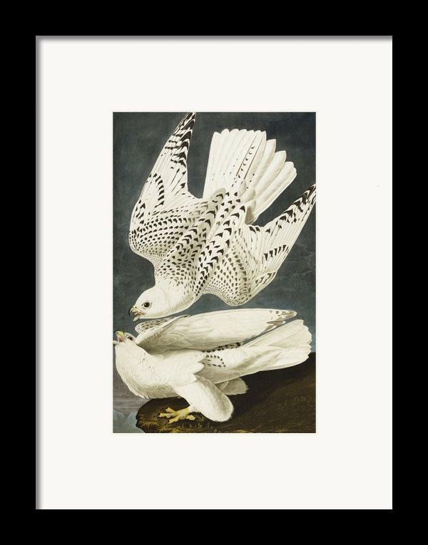 Iceland Or Jer Falcon Framed Print By John James Audubon
