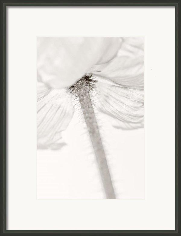 Iceland Poppy Framed Print By Silke Magino