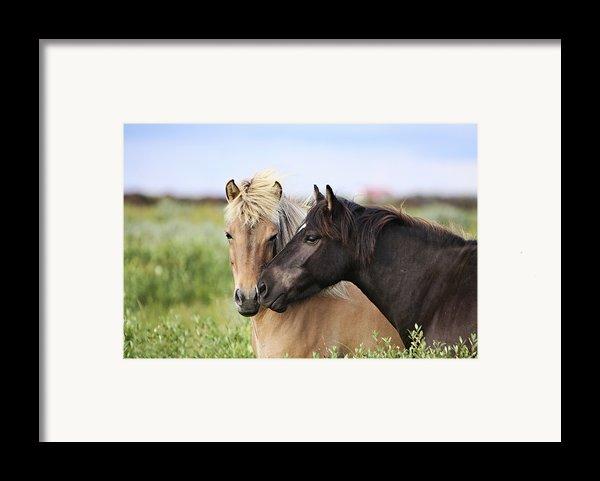 Icelandic Horse Framed Print By Gigja Einarsdottir