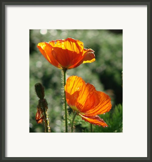 Icelandic Poppies Framed Print By Liz Vernand