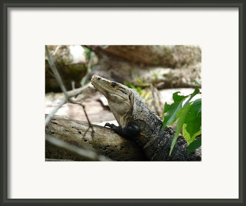 Iguana Framed Print By Juan Francisco Zeledon