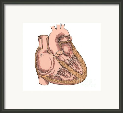 Illustration Of Heart Anatomy Framed Print By Science Source