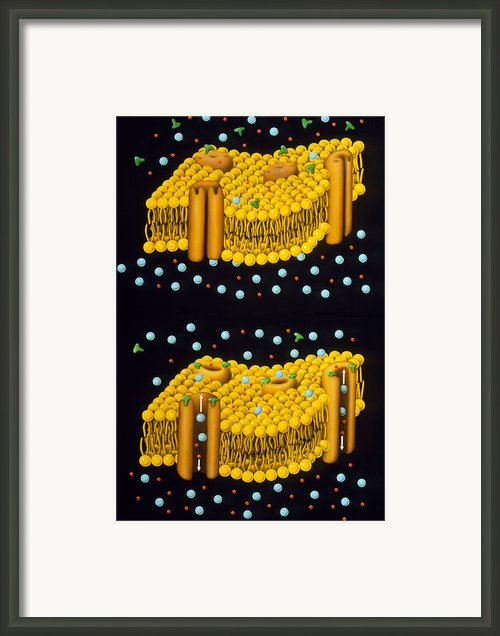 Illustration Of Ion Chanels In Plasma Membrane Framed Print By Francis Leroy, Biocosmos