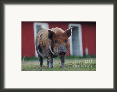 In Front Of The Red Barn Framed Print By Lynda Dawson-youngclaus