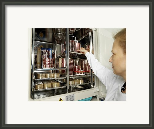 Incubating Bacteria Framed Print By Tek Image