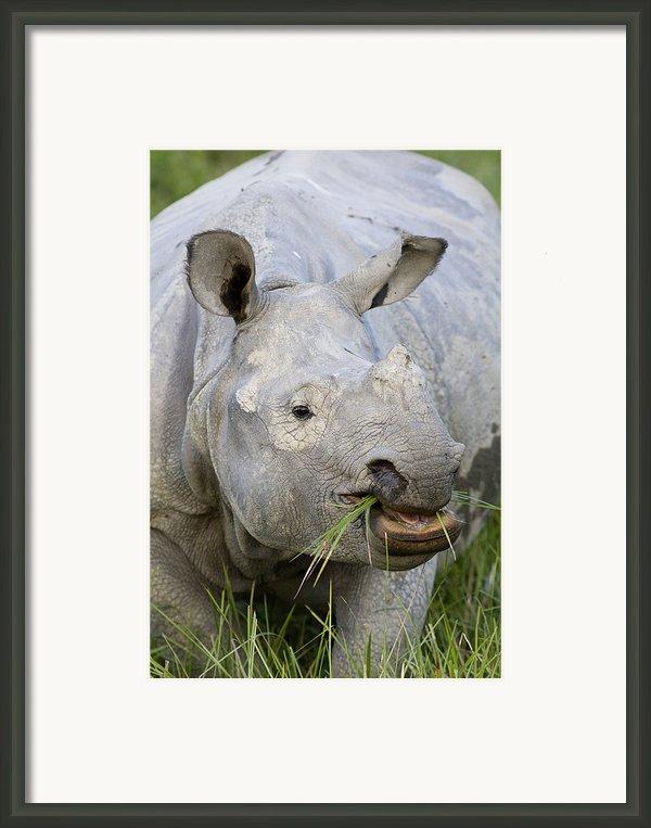 Indian Rhinoceros Grazing Kaziranga Framed Print By Suzi Eszterhas