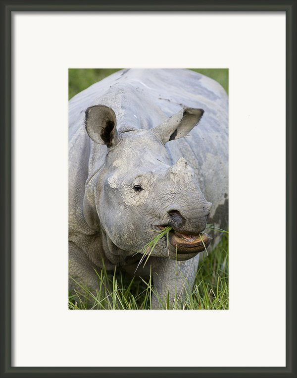 Indian Rhinoceros Grazing Kaziranga Framed Print By Suzi Eszterhas