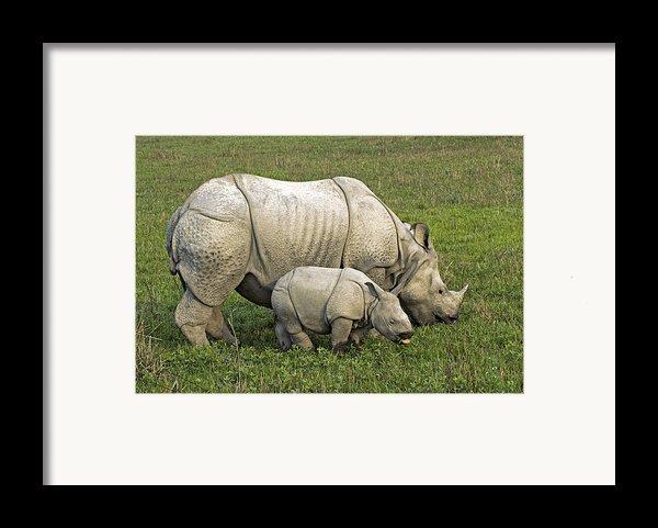 Indian Rhinoceroses Framed Print By Tony Camacho