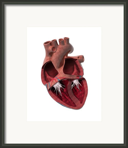 Internal Heart Anatomy, Artwork Framed Print By Claus Lunau