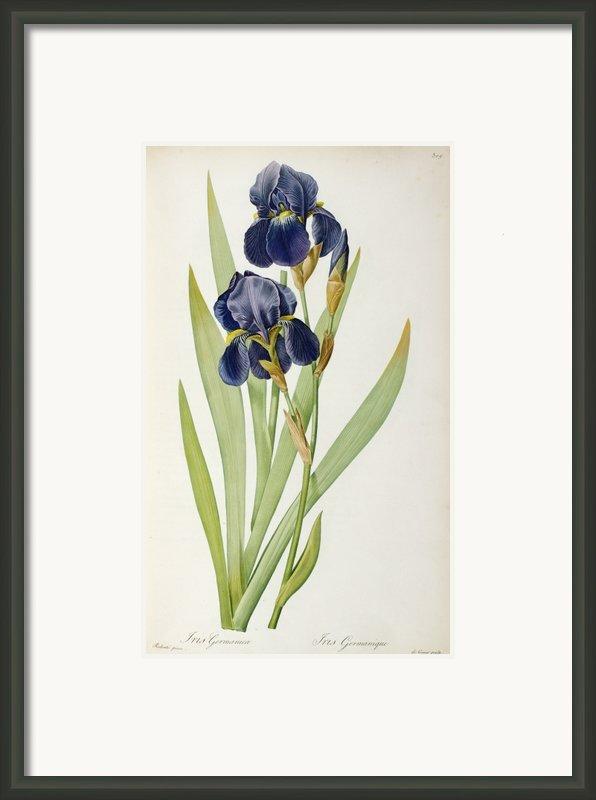 Iris Germanica Framed Print By Pierre Joseph Redoute