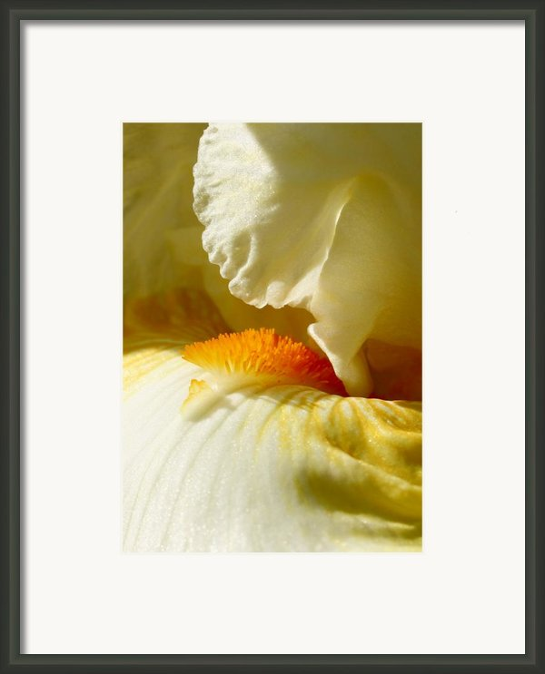 Iris With Touch Of Orange Framed Print By Steve Augustin