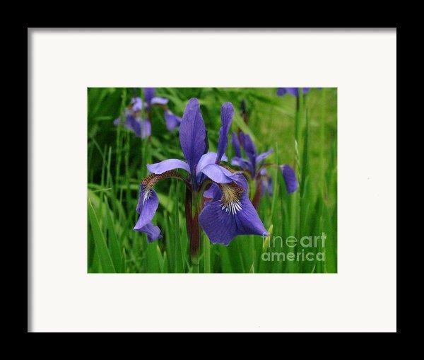 Irises Framed Print By Randi Shenkman