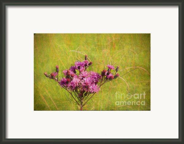 Ironweed In Autumn Framed Print By Judi Bagwell
