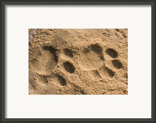 Jaguar Tracks Framed Print By Tony Camacho