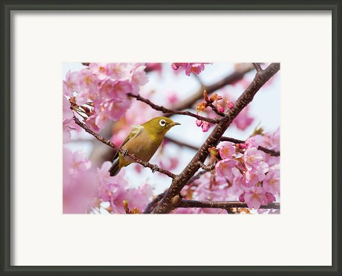 Japanese White-eye On Cherry Blossoms Framed Print By David A. Laspina