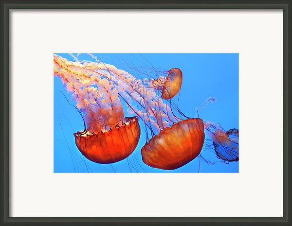 Jelly Fish Framed Print By Jill Buschlen