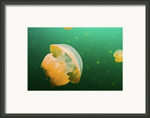 Jellyfish Lake Palau Framed Print By Wendy A. Capili