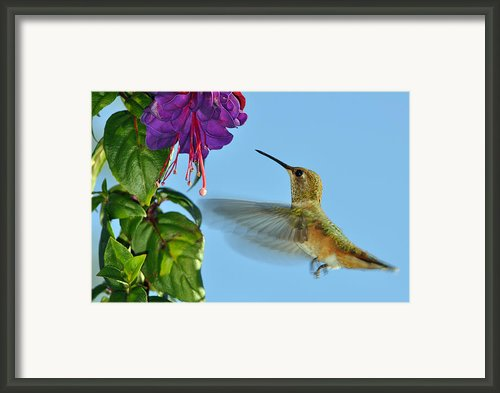 Jeweled Rufous In Afternoon Light Framed Print By Laura Mountainspring