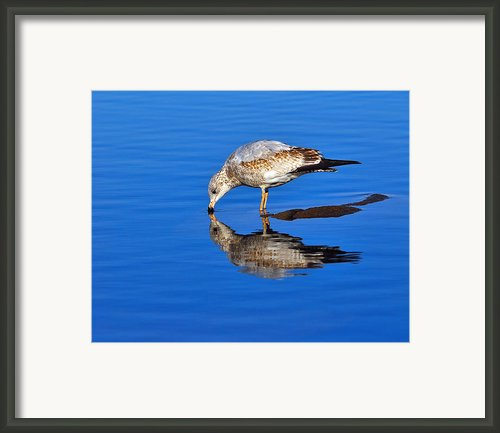 Juvenile Ring-billed Gull  Framed Print By Tony Beck