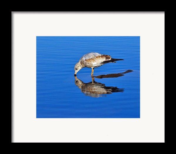 Juvenile Ring-billed Gull  Framed Print By Tony Beck