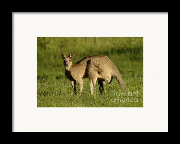 Kangaroo Male Framed Print By Bob Christopher