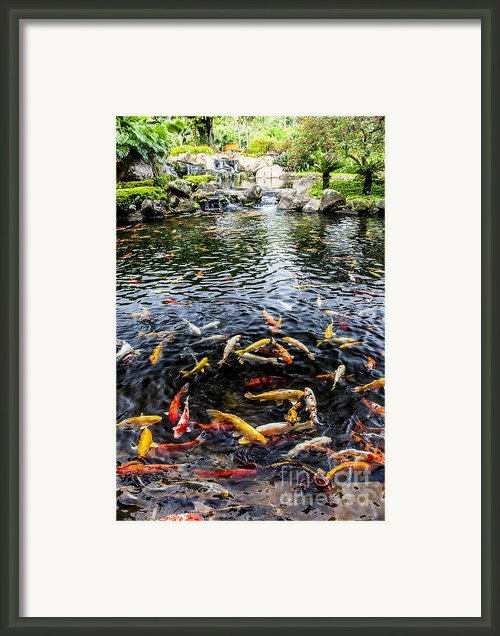 Kauai Koi Pond Framed Print By Darcy Michaelchuk