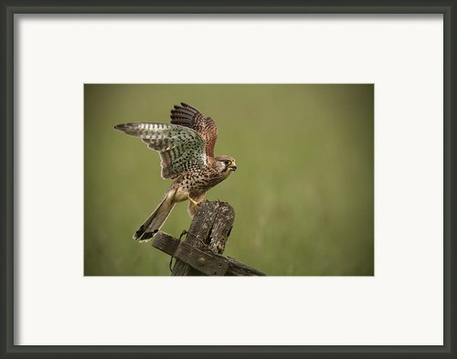 Kestrel Framed Print By Andy Astbury
