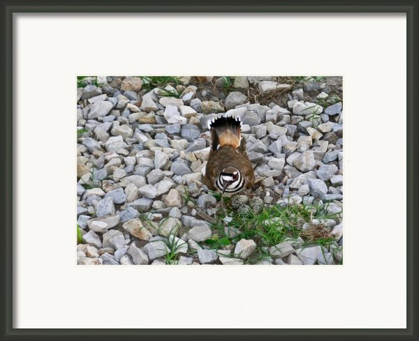 Kildeer And Eggs Framed Print By Douglas Barnett