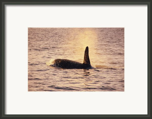 Killer Whale Framed Print By Alexis Rosenfeld