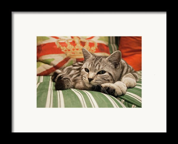 Kitten Lying On Striped Couch Framed Print By Kim Haddon Photography