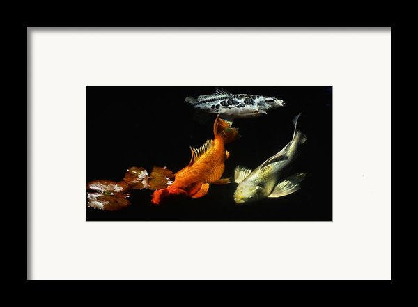 Koi By The Lillies Framed Print By Don Mann