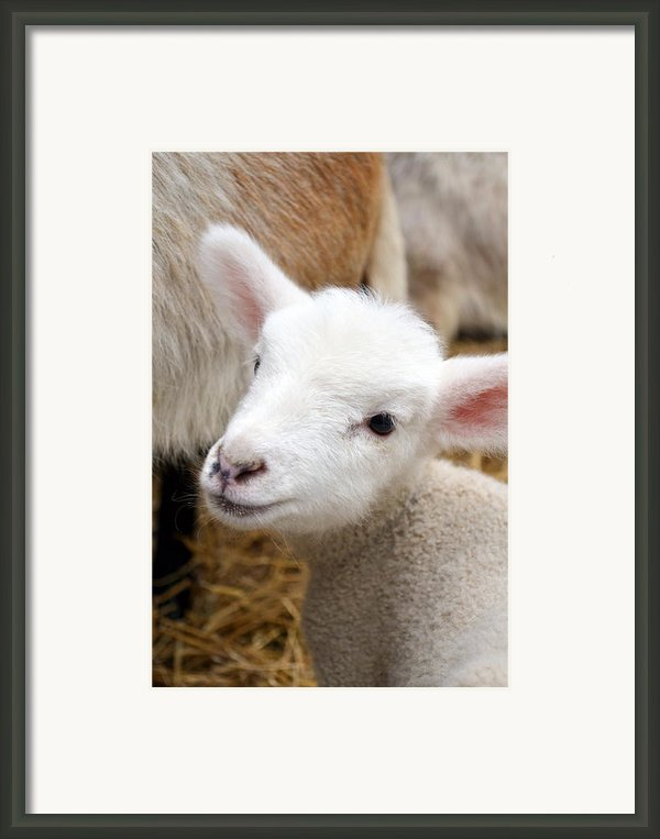 Lamb Framed Print By Michelle Calkins