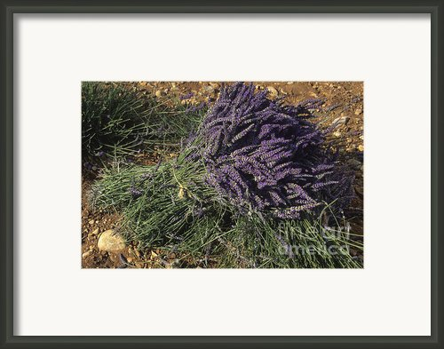 Lavender Framed Print By Bernard Jaubert