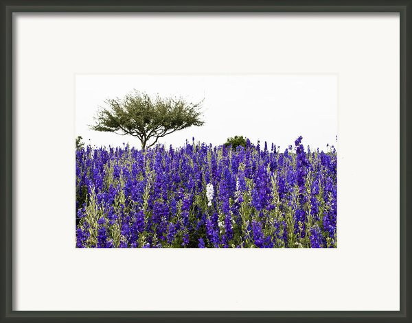 Lavender Field Framed Print By Lisa  Spencer
