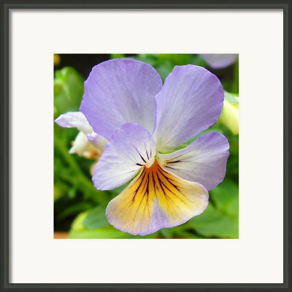 Lavender Pansy Framed Print By Nancy Mueller