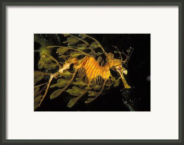 Leafy Seadragon, Off Kangaroo Island Framed Print By James Forte