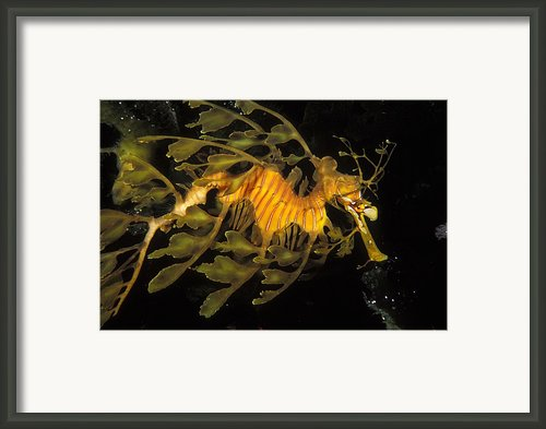 Leafy Seadragon, Off Kangaroo Island Framed Print By James Forte