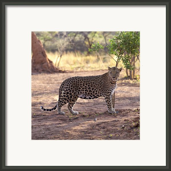 Leopard Framed Print By Keith Levit
