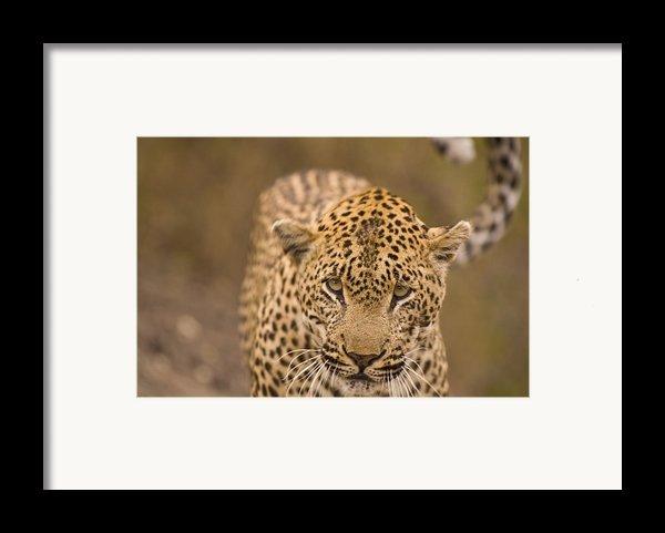Leopard Panthera Pardus, Arathusa Framed Print By Stuart Westmorland